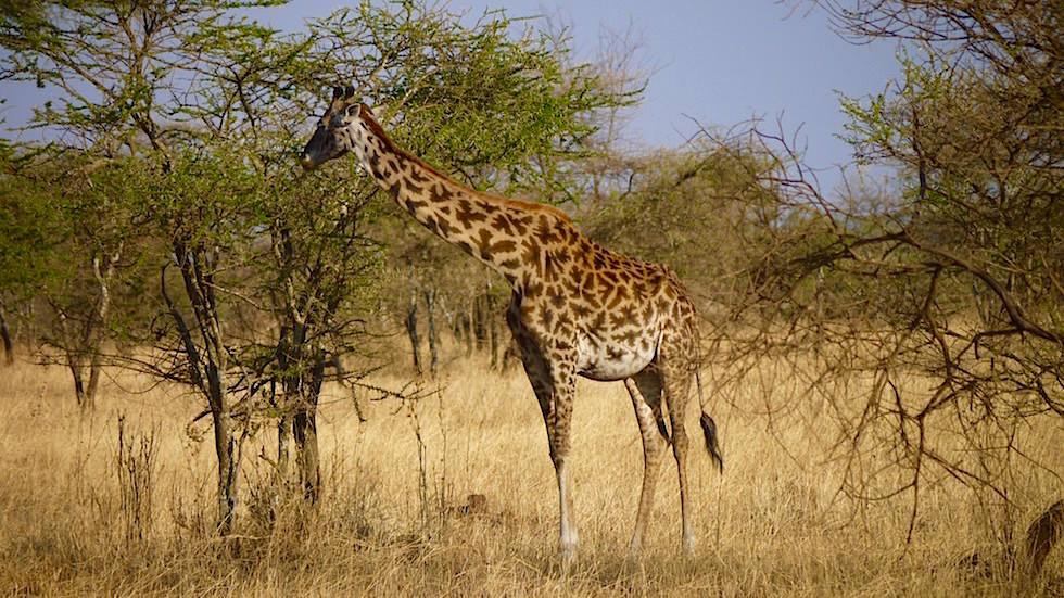 Giraffe & Muster - Serengeti National Park - Tanzania