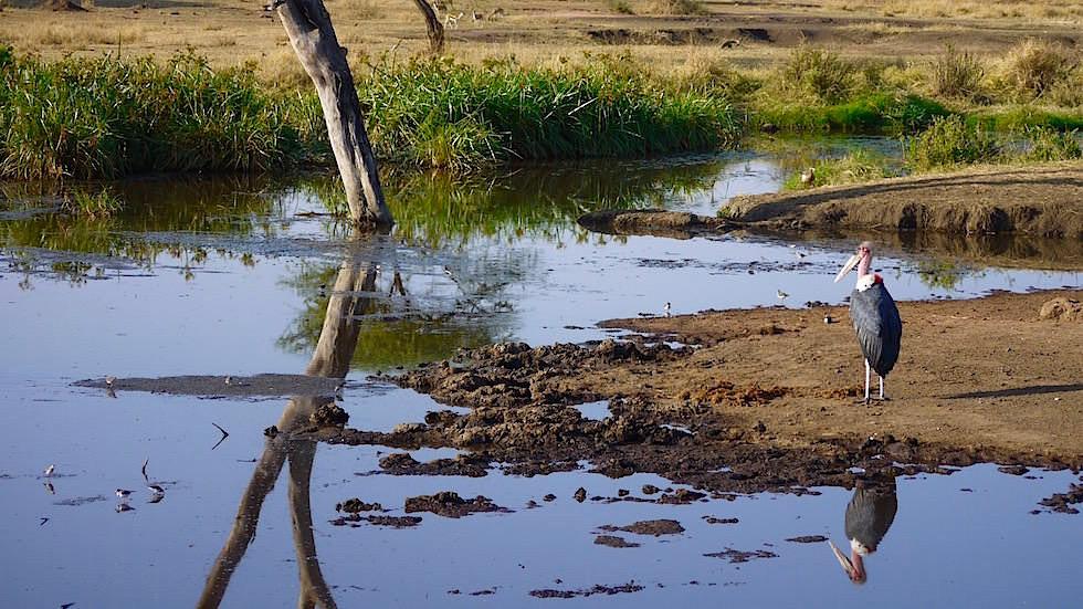 Marabu - Serengeti National Park - Tansania