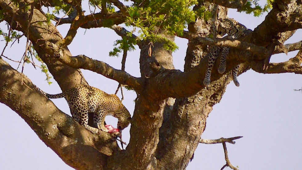 Leopard auf dem Baum Nahaufnahme - Serengeti National Park - Tanzania