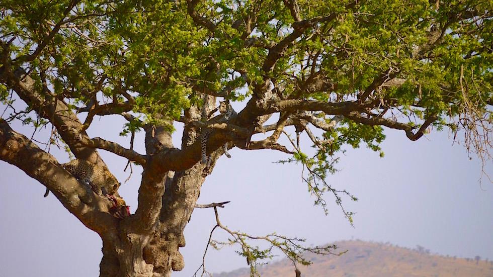 Leopard mit Beute auf dem Baum - Serengeti National Park - Tanzania