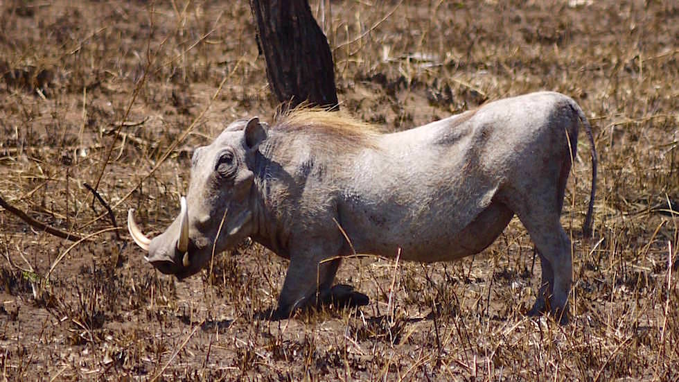 Warzenschwein - Serengeti National Park - Tansania