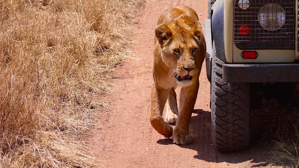 Löwin tarnt sich - Serengeti National Park - Tanzania