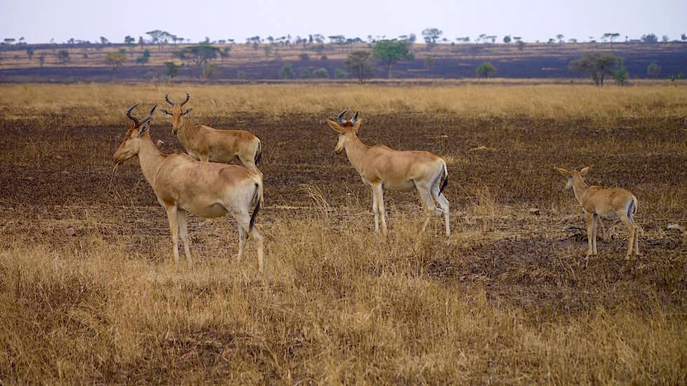 Hartebeest - Serengeti National Park - Tanzania