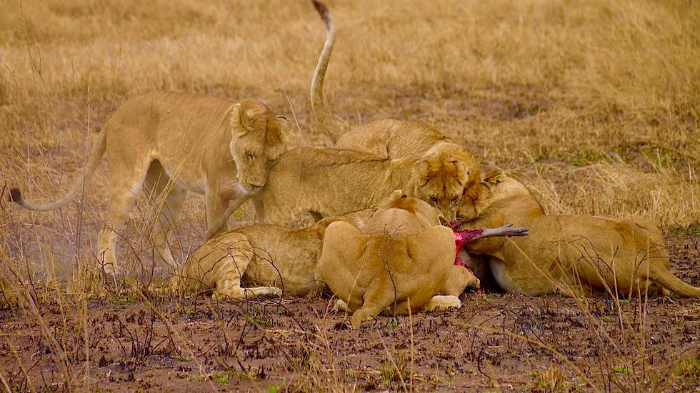 Löwin reisst Warzenschwein - Serengeti National Park - Tanzania