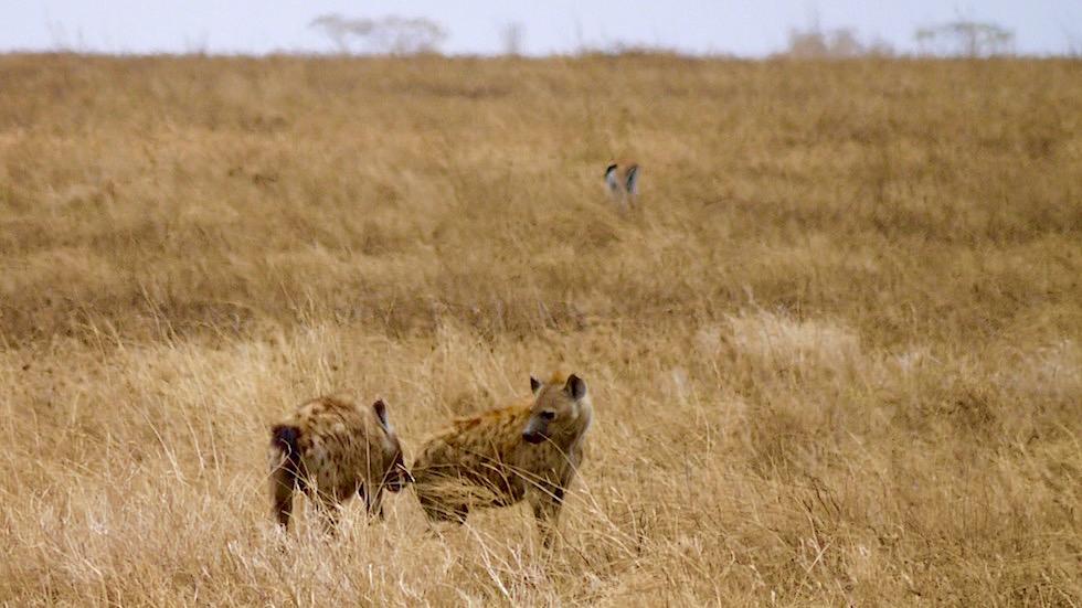 Tüpfelhyäne oder Fleckenhyäne - Serengeti National Park - Tanzania