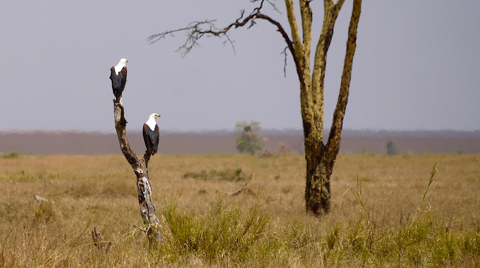 Schreiseeadler - Serengeti National Park - Tansania