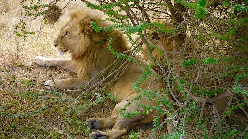 Löwen im Schatten liegend - Serengeti National Park - Tanzania