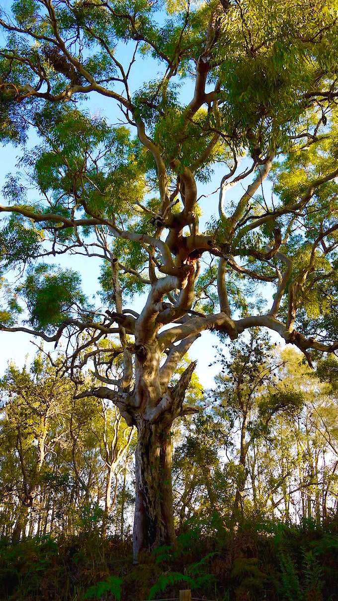 Eukalyptus Baum Myall Lake National Park - Great Lakes - NSW