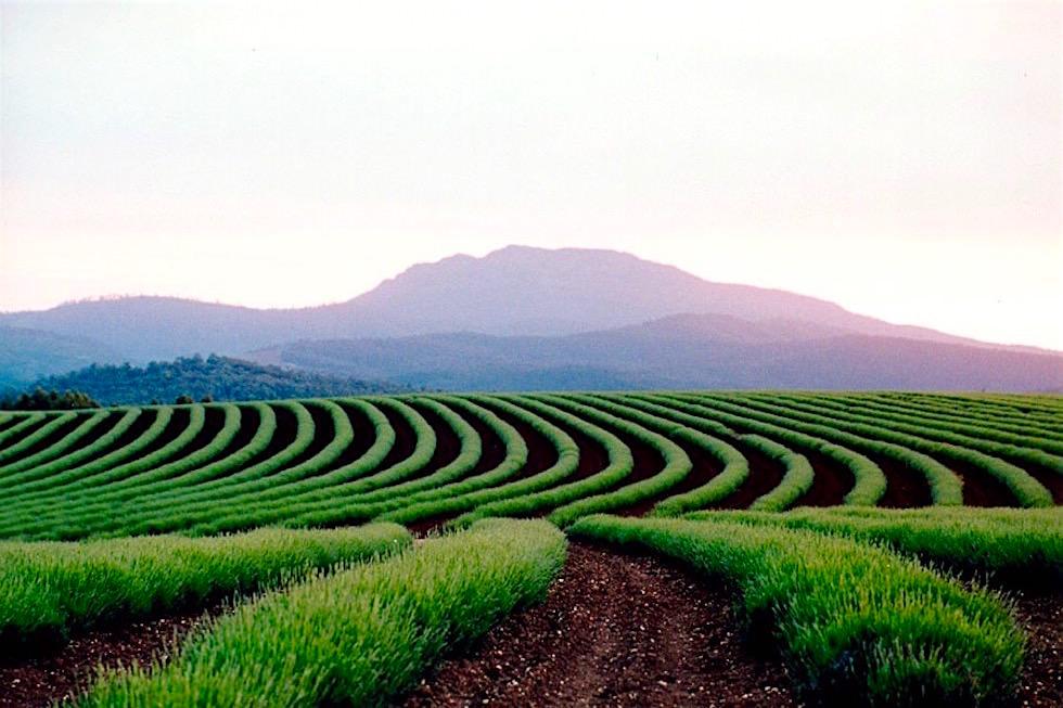 Lavendelfelder Frühjahr - Bridestowe Lavender Farm - Tasmania