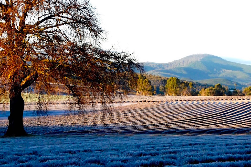 Lavendelfarm Winter - Bridestowe Lavender Farm - Tasmania