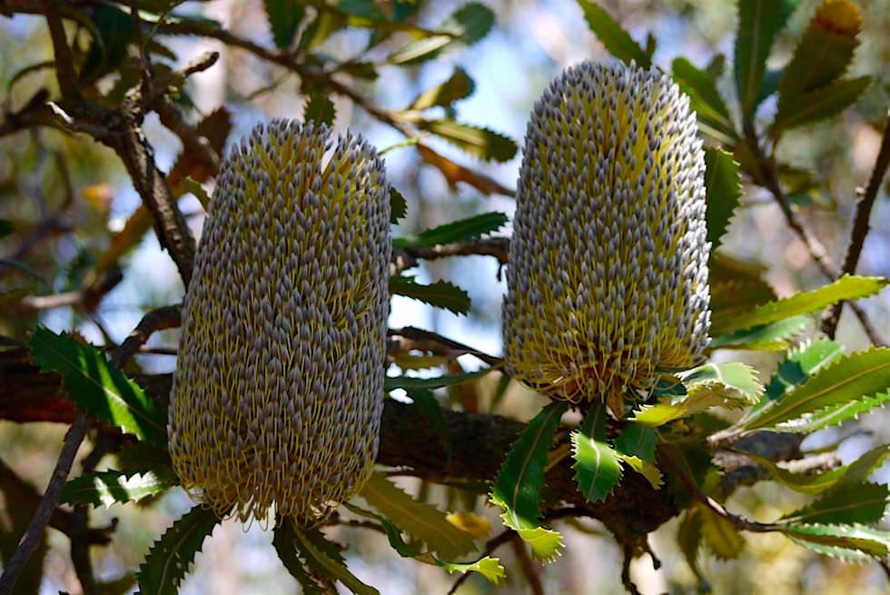 Früchte Banksia Baum - Australien