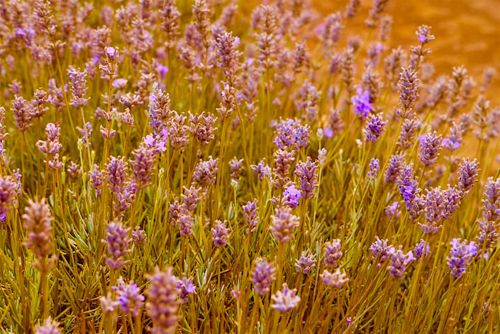 Verblühter Lavendel - Bridestowe - Tasmania