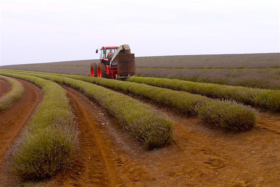 Lavendelernte - Bridestowe Lavendel Farm - Tasmania