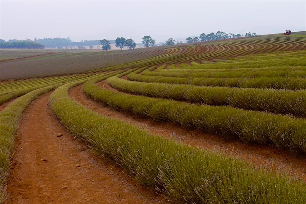 Geschwungene Linien - Lavendelbüsche - Tasmanien - Contour Farming