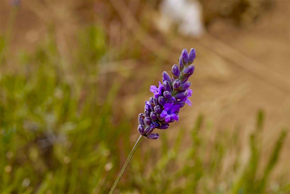 Lavendelblüte - Bridestowe - Tasmania