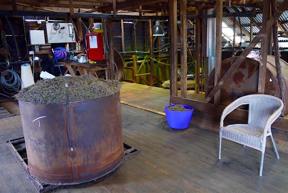 Behälter mit Lavendel - Bridestowe - Tasmania