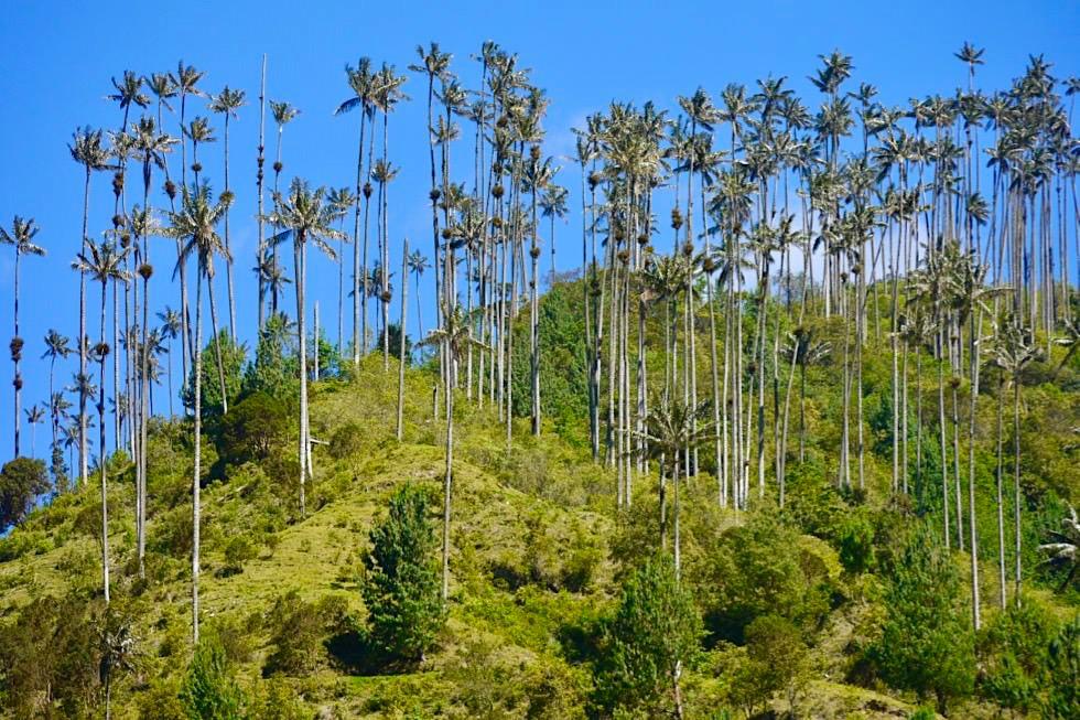Zauberschönes Valle del Cocora mit unendlich vielen Wachspalmen - Nationalbaum von Kolumbien