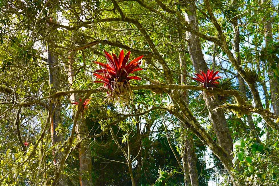 Valle del Cocora Wanderung - herrlich rote Bromelien Farbtupfer - Salento - Kolumbien