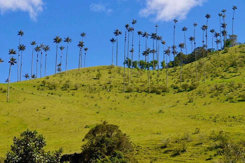 Faszinierende Valle del Cocora Wanderung - Blick auf Wachspalmen - Salento - Kolumbien