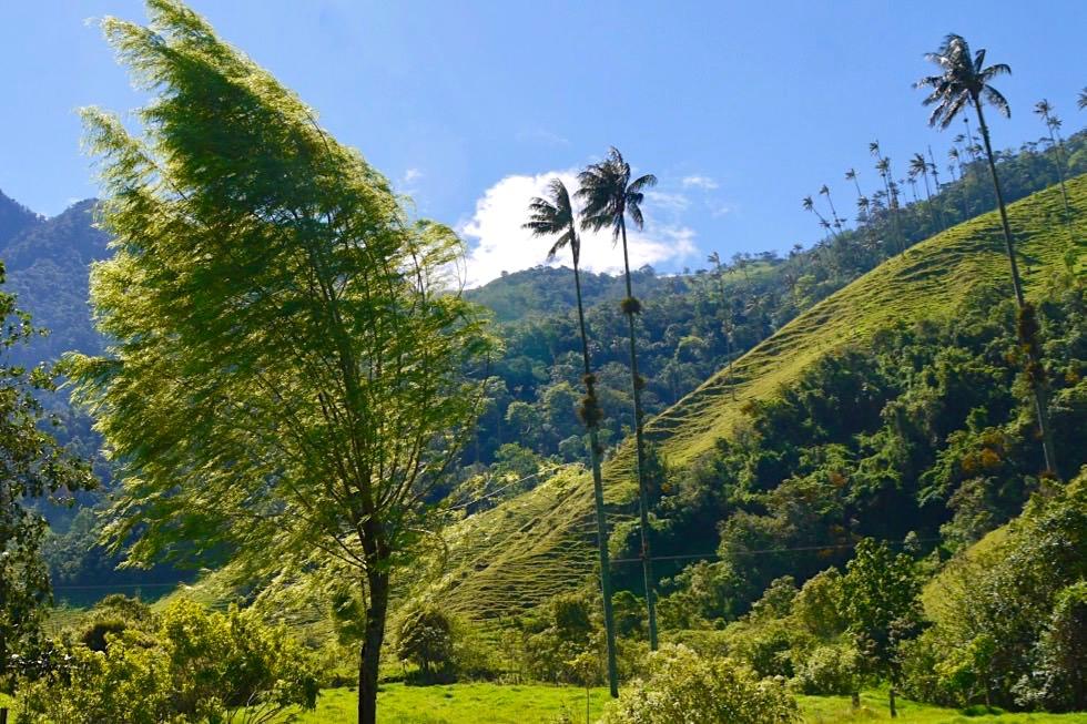 Valle del Cocora - windgepeitschte Bäume - Salento - Kolumbien