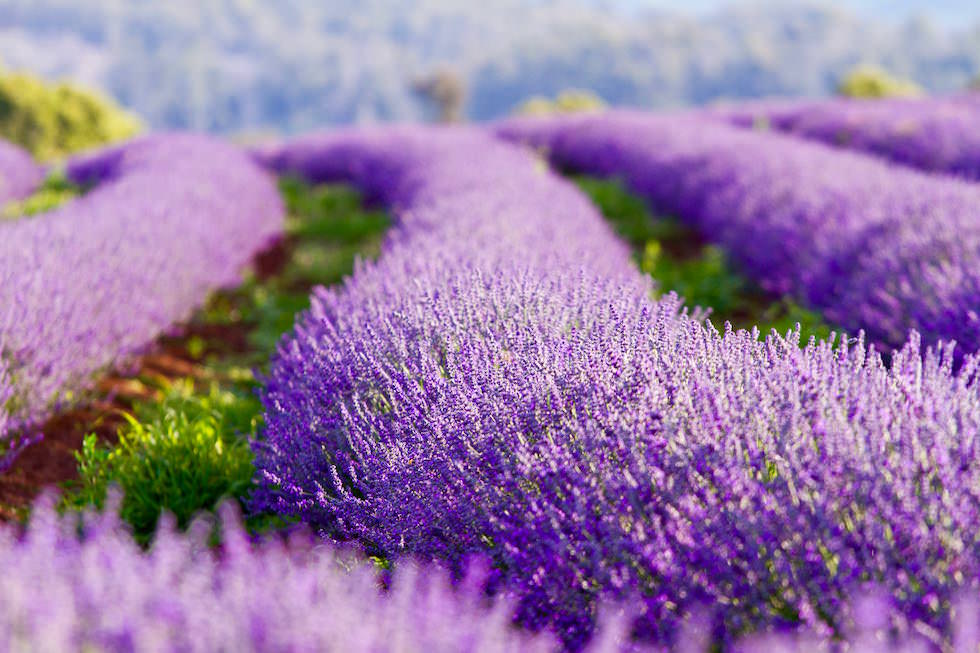 Lavendelfelder Blüte - Bridestowe Lavendelfarm - Tasmania