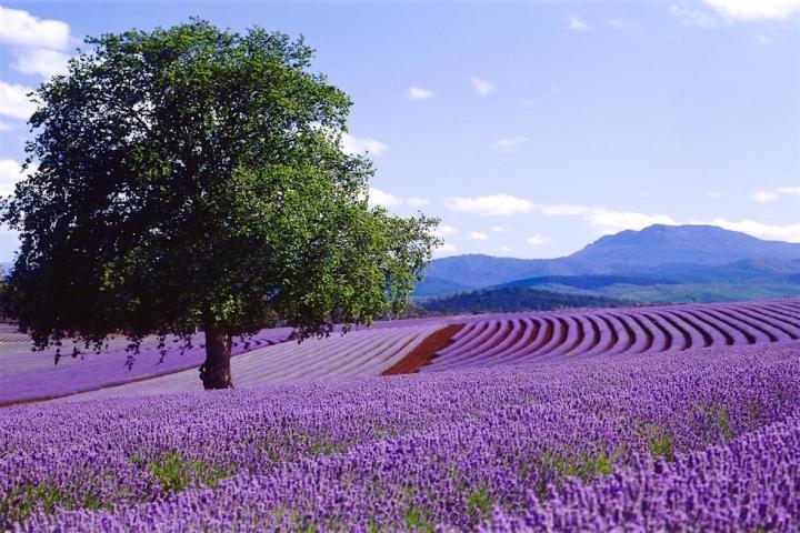 Lavendelfelder in der Blüte - Bridestowe - Tasmania