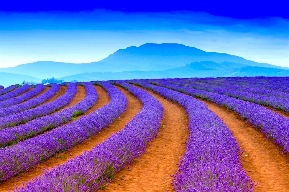 Bühender Lavendel - Bridestowe - Tasmania
