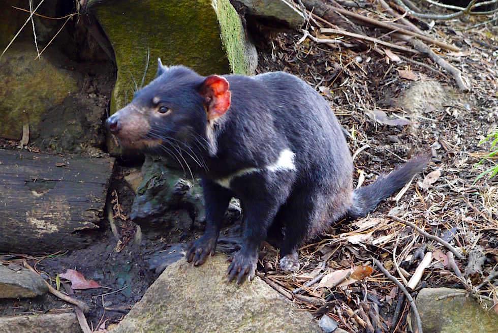 Beutelteufel - Tasmanian Devil mit roten Ohren - Tasmanien