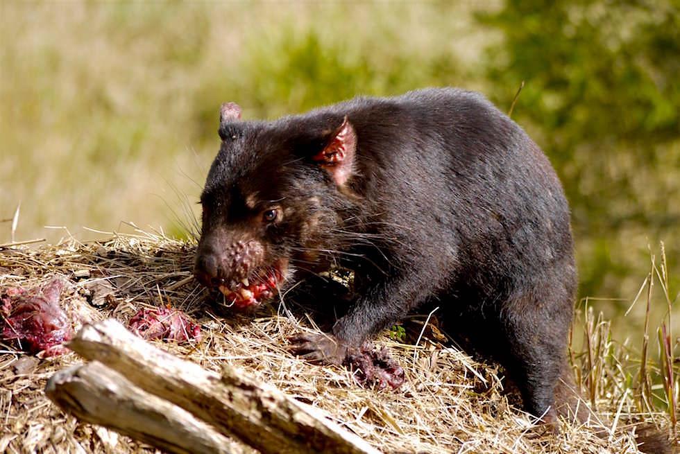 Beutelteufel - Tasmanischer Teufel beim Fressen - Tasmanien