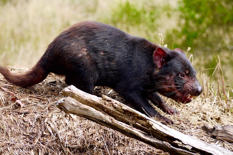 Tasmanischer Teufel - Beutelteufel - Tasmanien