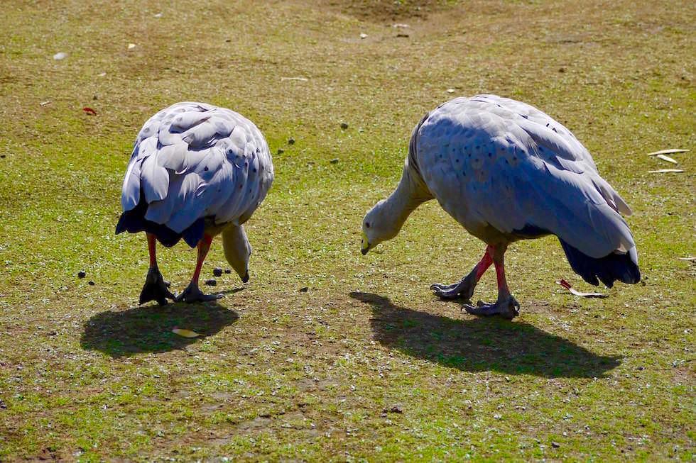 Cape Barren Goose - Hühnergans - Tasmanien