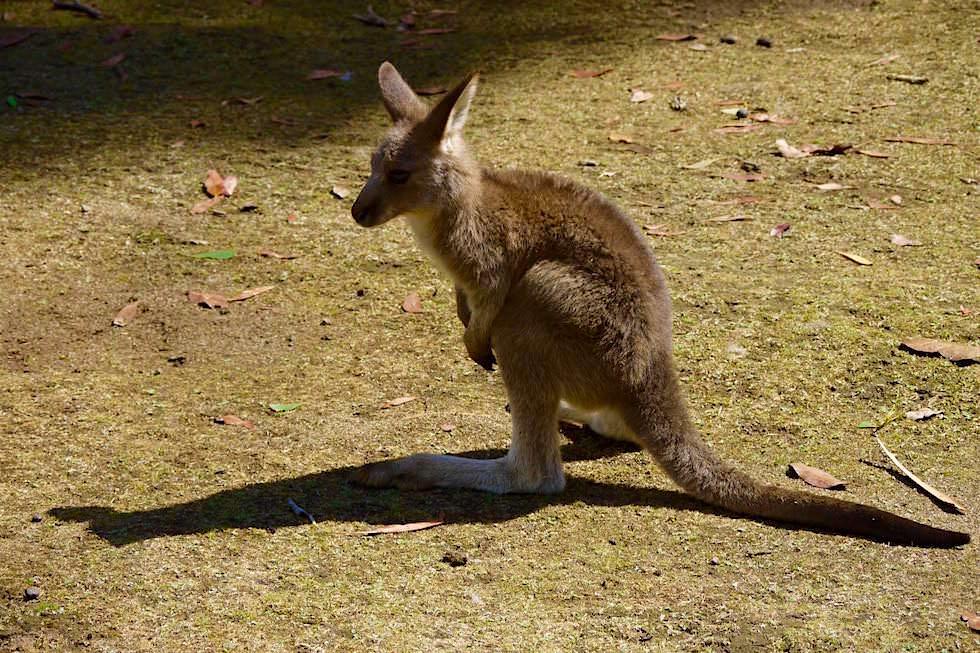Junges Tasmanische Kängurus - Tasmanien