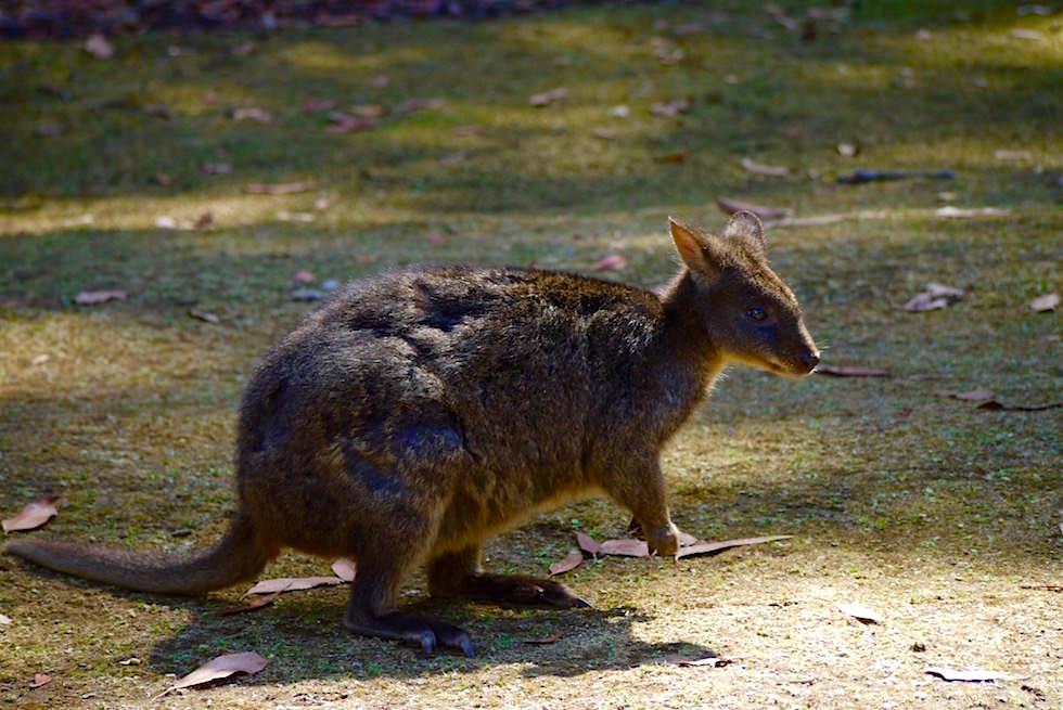 Pademelon - Unzoo - Tasmaninen