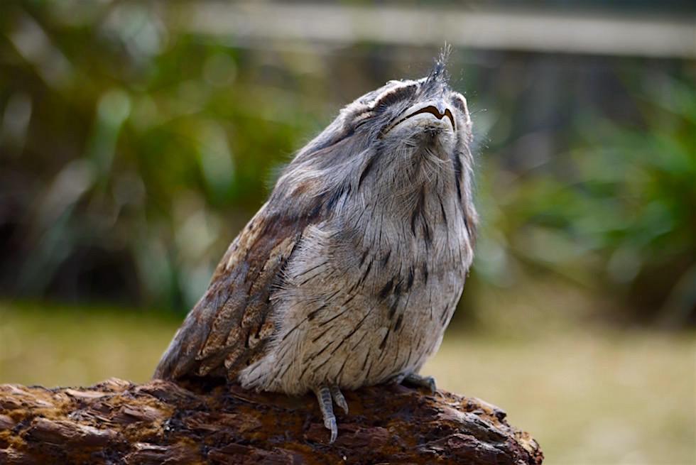 Trawny Frogmouth - Eulenschwalme - Tasmanien