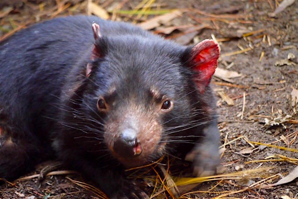 Tasmanischer Teufel ruhend - Tasmanien