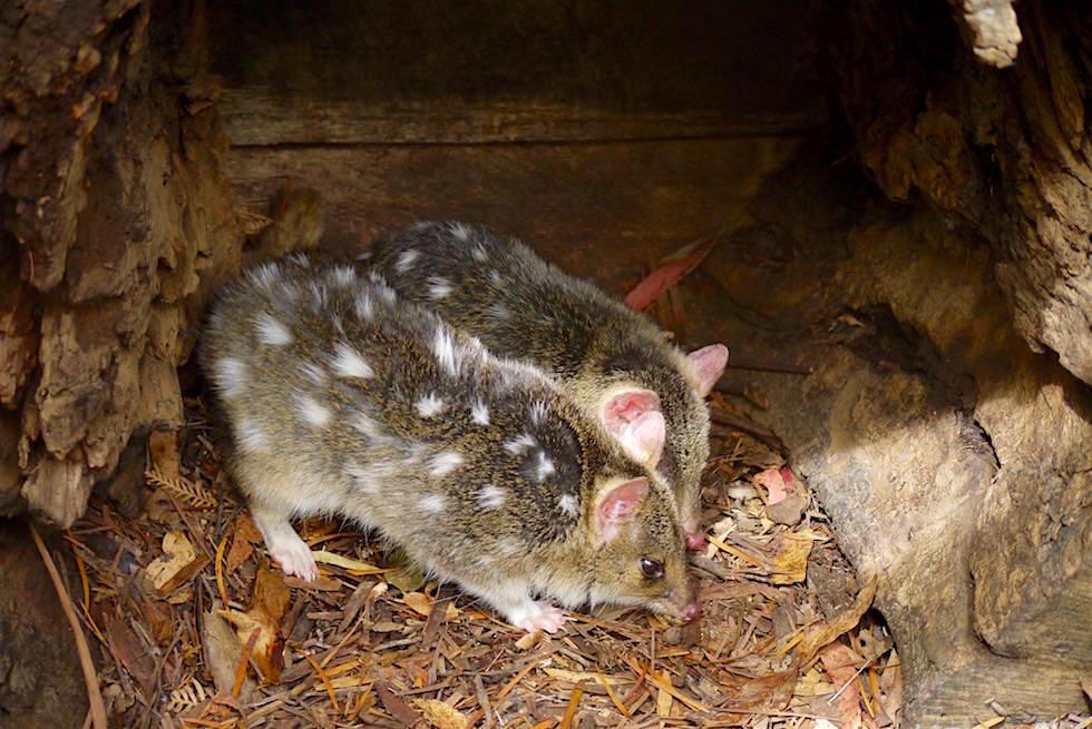 Eastern Quoll - Tüpfelbeutelmarder - Tasmanien