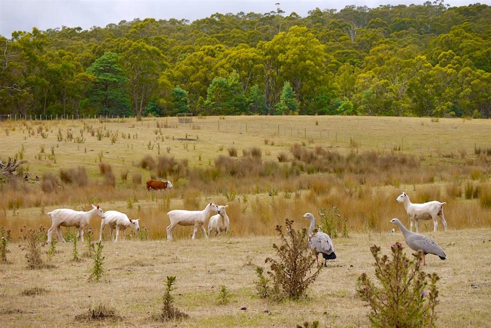 Schafe Kühe Gänse - Tasmanien Unzoo