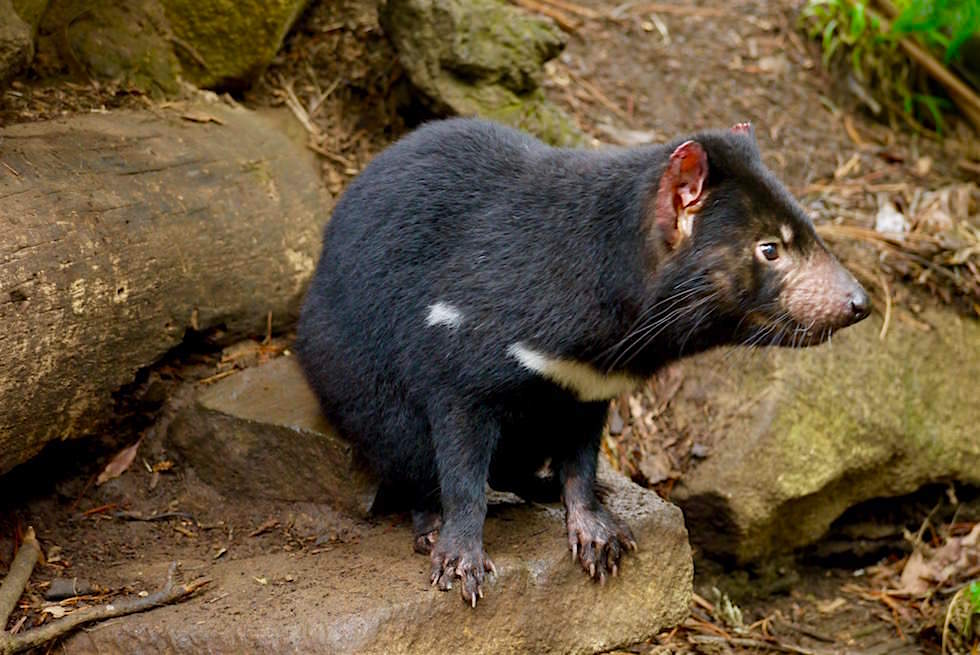 Tasmanian Devil Unzoo - Tasmanien