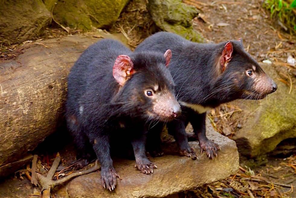 Tasmanischer Teufel Pärchen - Tasmanien
