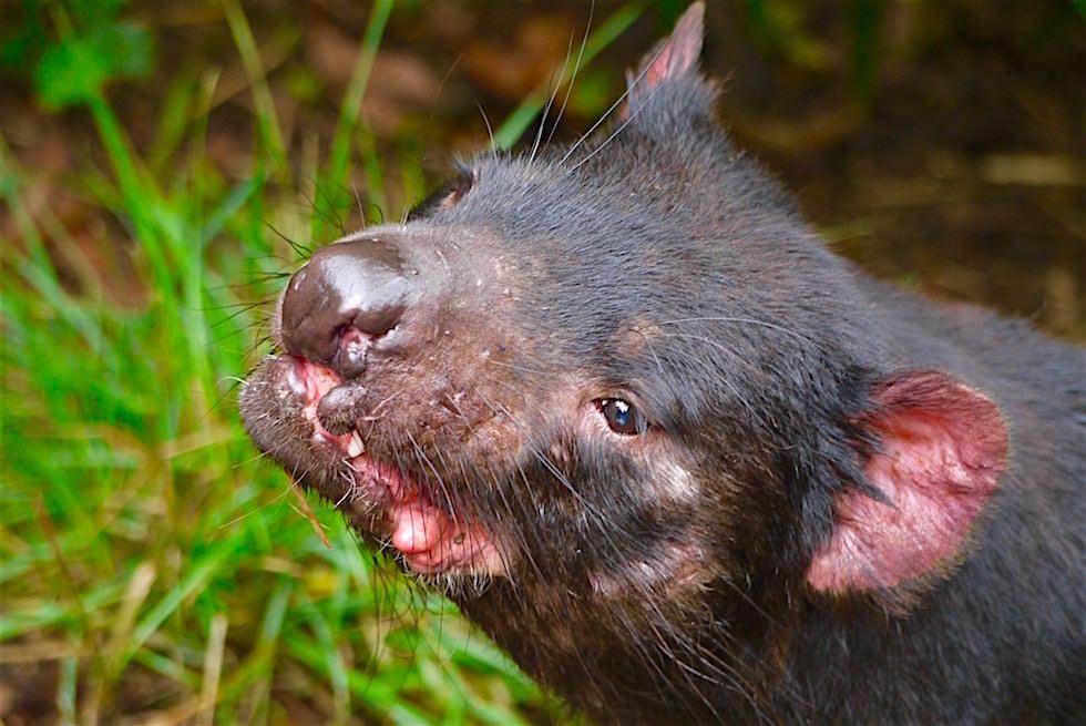 Tasmanischer Teufel mit Bissspuren im Gesicht - Tasmanien