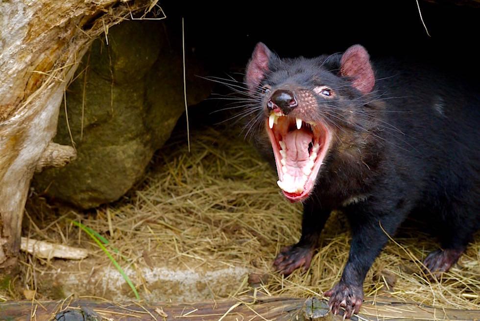 Tasmanischer Teufel gähnt - Tasmanien