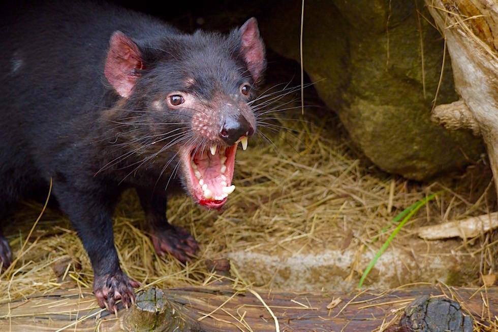 Tasmanian Devil Unzoo - Tasmania