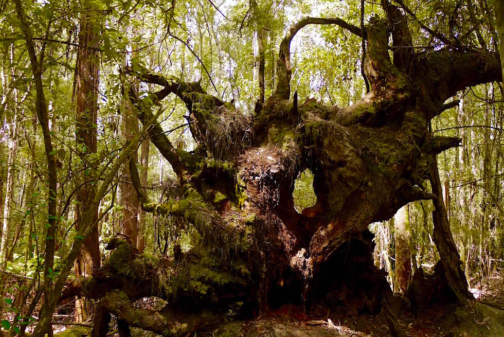 Baum oder Kunst - Umgestürzter Baum - Mt Field National Park - Tasmanien