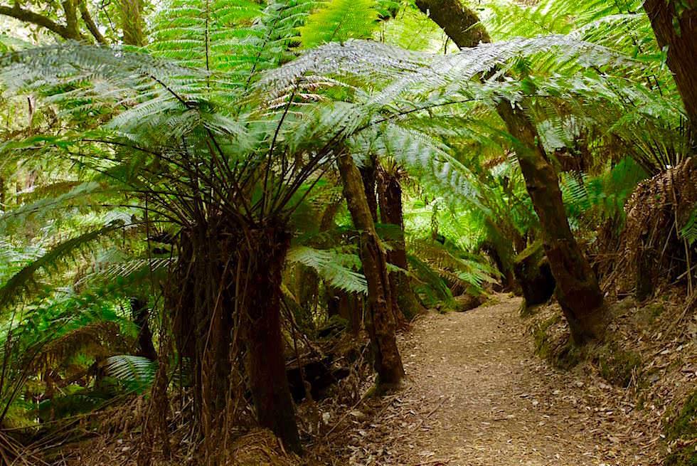 Gigantische Baumfarne bei den Russell Falls - Mt Field National Park - Tasmanien