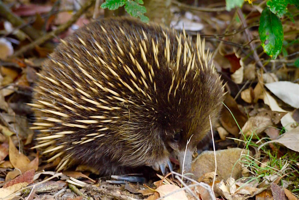 Echidna im Mount Field National Park - Tasmanien