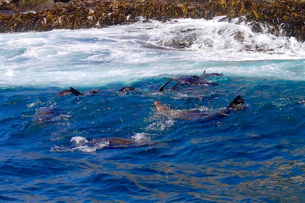 Australian Seals - Bruny Island Cruise - Tasmanien
