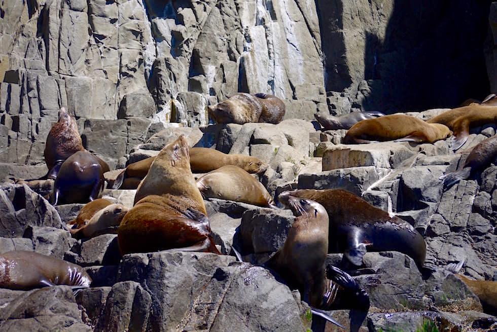 Seltene Australische Robben Friars Fiar Rock - Bruny Island - Tasmanien