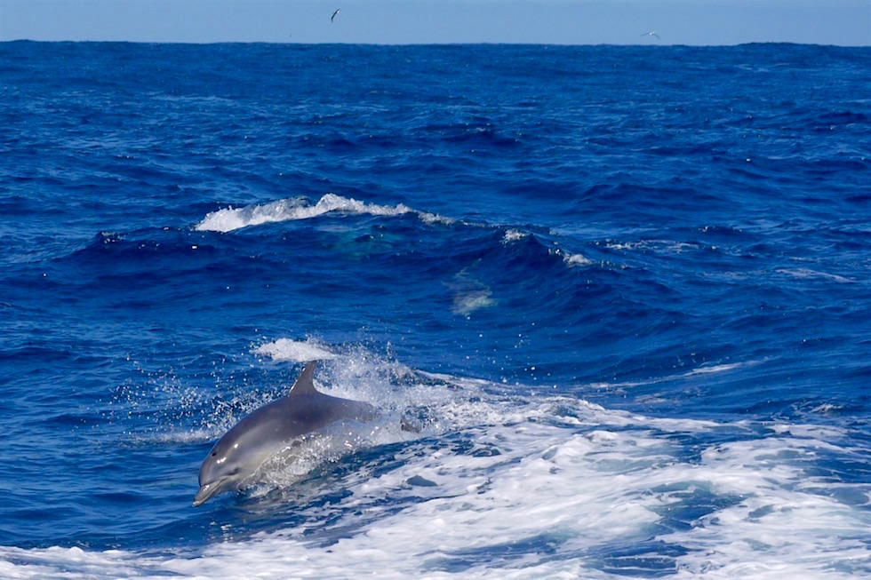 Delfine - Bruny Island Cruise - Tasmanien