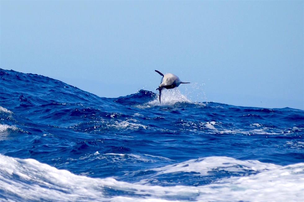 Spielende Delfine - Bruny Island - Tasmanien