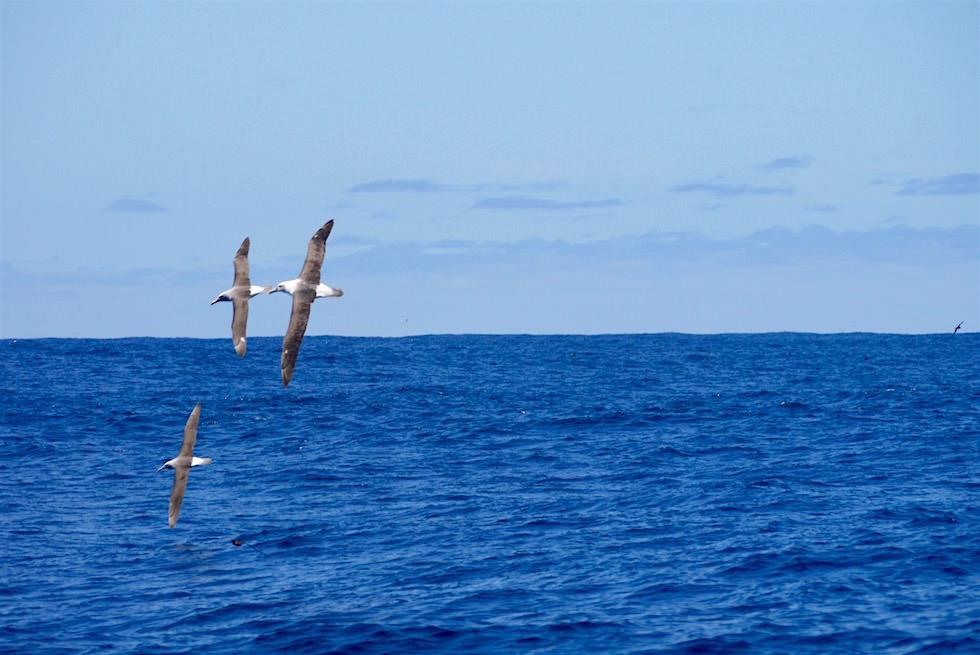 Albatrosse - Southern Ocean - Bruny Island Cruise - Tasmanien